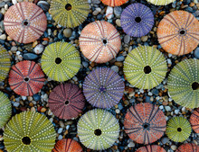 Sea Urchin Shells Collection As A Natural Background