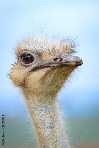 Spoed Foto op Canvas Struisvogel Funny grimace of ostrich, human expression.