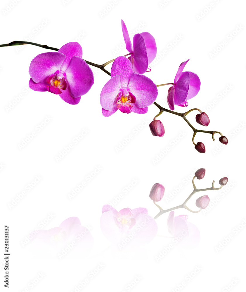 Pink orchid on a white background
