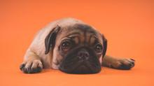 Sad Puppy Of A Pug, On An Orange Background. Garus Dog