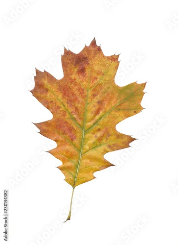 yellow and multicolor leaves of red oak tree
