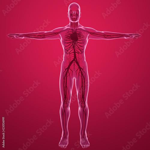 Fotografie, Obraz  Corpo umano, vista ai raggi x del sistema circolatorio con cuore arterie e vene