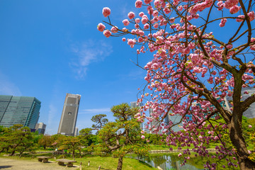 Fototapeta Tokyo Garden Sakura blossoming cherry tree branch in Hamarikyu of Tokyo, Chuo district, Japan. Shiodome buildings on blurred background. Spring concept, Hanami and outdoor life.