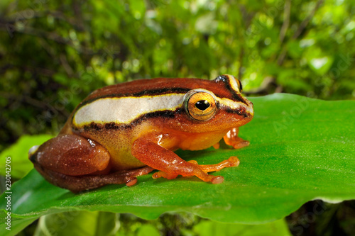 Foto op Plexiglas Kikker Mitchellis Riedfrosch (Hyperolius mitchelli) - Mitchell's reed frog