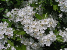 Blooming Crataegus, Hawthorn, Thornapple, May-tree, Whitethorn, Or Hawberry Beautiful White Blossoms