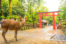 Wild Deer And Torii Gate Of Nara Park In Japan. Deer Are Nara's Greatest Tourist Attraction. Red Torii Gate Of Kasuga Taisha Shine One Of The Most Popular Temples In Nara City.