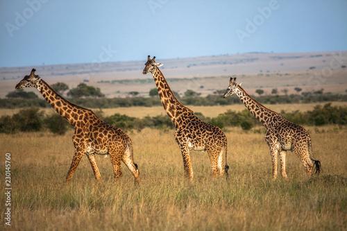 Deurstickers Giraffe Masai Giraffe