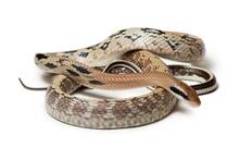 Elaphe Taeniura Snake Isolated On White Background. Non-poisonous Snake.