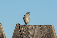 Young Western Bluebird On A Fence Post