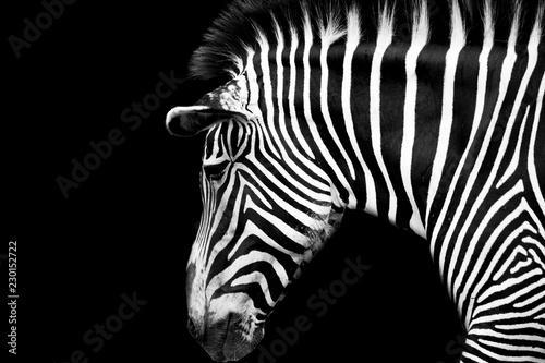 Photo sur Toile Zebra zebra