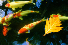 Colorful Fancy Carp Fish Or Koi Fish Are Swimming. Koi Fish Swimming In The Pond. Top View And Zoom In For Close Up. Water Is Clear Black And Reflection Of Light.