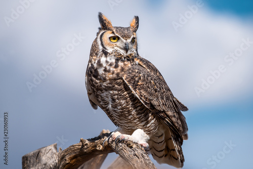 Spoed Fotobehang Uil great horned owl