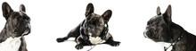 French Bulldog Dog, Photo Set