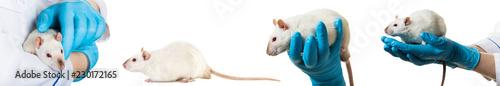 hands in medical gloves hold a rat, photo set