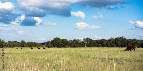 Valokuva  Ag web banner of cattle grazing in pasture