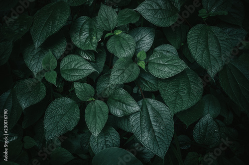 Foliage of tropical leaf in dark green texture, abstract pattern nature background.