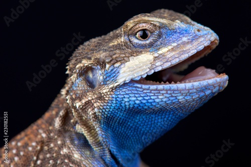 Shield-tailed agama (Xenagama taylori)