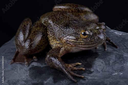 Cameroon slippery frog (Conraua robusta)