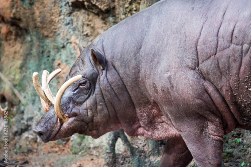 Babirusa deer-pigs Babyrousa while looking for food on a wet soil or mud Wallpaper Mural
