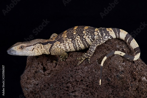 The white-throated monitor (Varanus albigularis albigularis) is a giant lizard species found in Southern Africa.