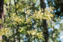 Australian Wild Wattle