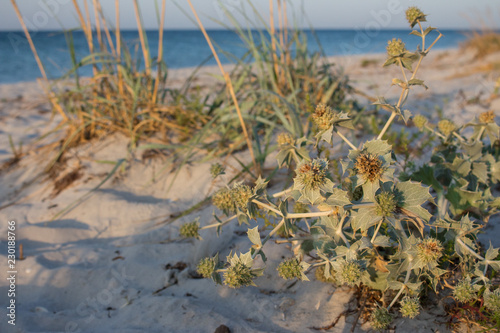 Obraz na plátně Green bur with dry grass at empty summer beach in the morning