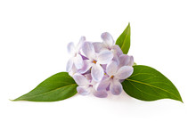 Lilac Flowers Isolated On Whit...