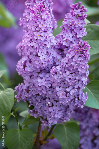 Fotobehang Lilac Spring branch of blossoming lilac