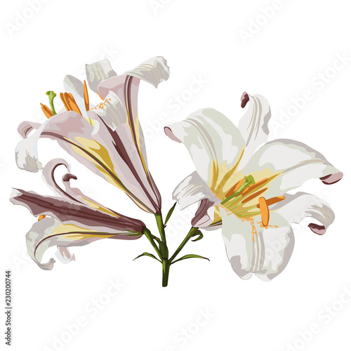 Realistic lily flower blossom opened and closed with leaves and steam set Canvas Print