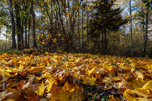 Poster Bruin abstract background pattern of yellow autumn tree leaves