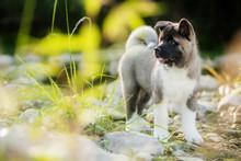Puppy Purebred American Akita ...