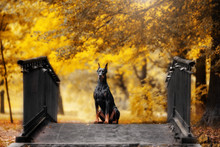 Doberman Sits On A Bridge In A...
