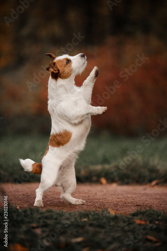 Fototapeta small dog Jack Russell Terrier stands on its hind legs