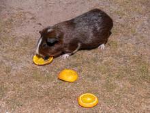 Guinea Pig Eats Orange In The ...