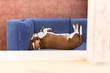 Lazy basset puppy sleeping on the sofa from above