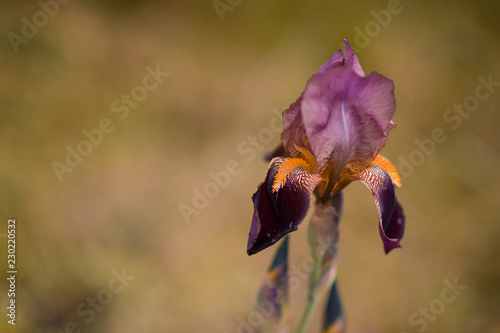 Purple and yellow Iris flower on brown nature background with a copy space for text