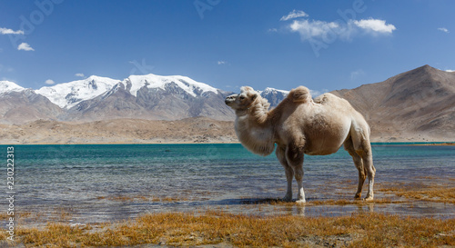 Spoed Foto op Canvas Kameel Camel standing in front of Pamir Mountains (Lake Karakul, Karakorum Highway, Xinjiang, China)