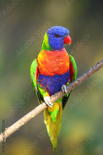 The rainbow lorikeet (Trichoglossus moluccanus) sitting on the branch. Extremely colored parrot on a branch with a colorful background.