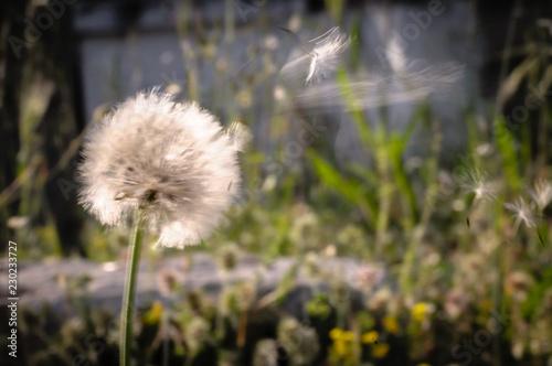 Wind blows dandelion seeds