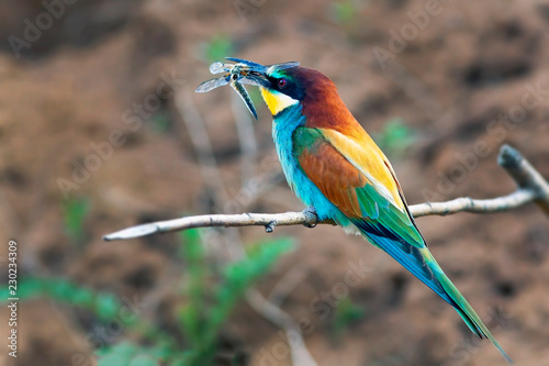 Fotografie, Obraz  bee-eater bird with colorful feathers sitting on a branch in its beak holds a ca