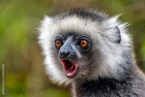 Diademed Sifaka. Diadema, endemic, endengered. Rare lemur,close up, portrait.(Propithecus diadema),Wild nature Madagascar