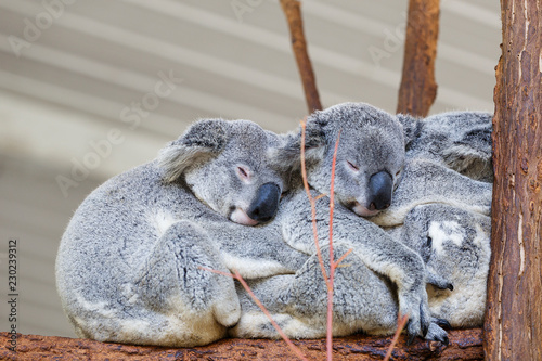 Recess Fitting Koala Koalas sleeping, Brisbane