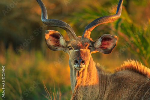 Front view of portrait of male Greater kudu, a species of antelope at sunset light. Game drive safari in iSimangaliso Wetland Park, South Africa. Tragelaphus Strepsiceros species.