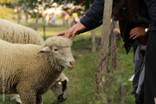 Fotografía  Sheep in contact with human hands through a fence