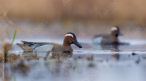 Male Garganey smimming through some water pond or swamp with a water drop on his Canvas Print