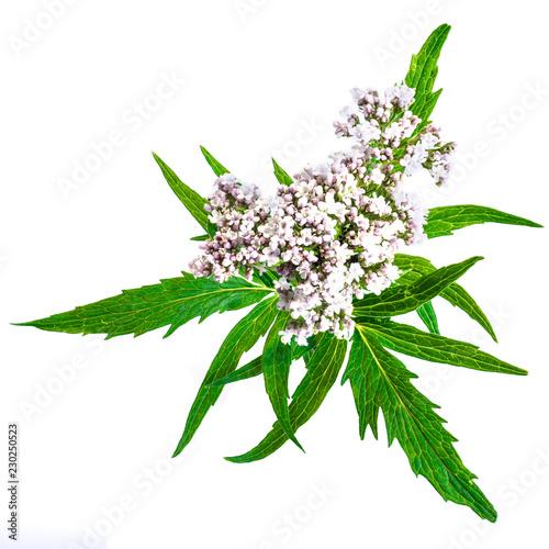 Photo  Valerian herb flower sprigs isolated on white background.