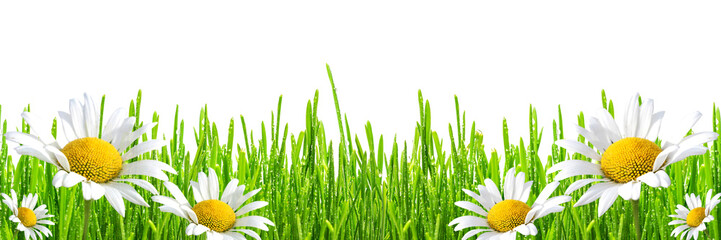 Panel Szklany Popularne fresh spring green grass with drops of dew and flowers chamomiles, isolated on white background, panoramic banner