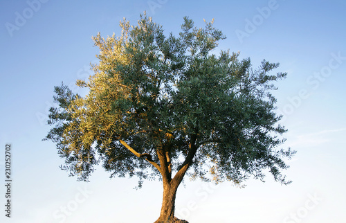 olive tree isolated