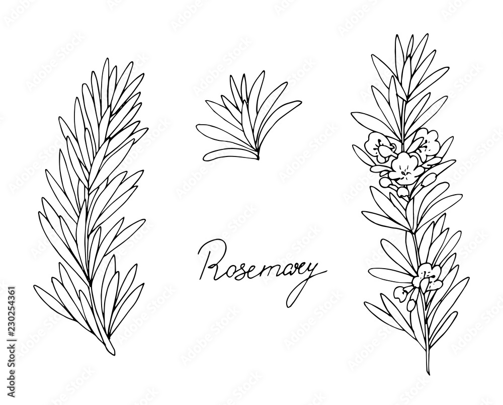 Fototapety, obrazy: Set of herbs. Rosemary. Hand drawn. Vector illustration