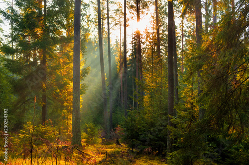 Fototapety, obrazy: Sunbeams in Natural Spruce Forest. Sunlight shining through a forest on a foggy morning.